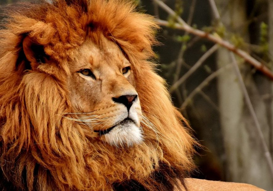 Lion Courageous Leadership